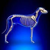 Squelette d'un chien adulte - toutoblog.unblog.fr