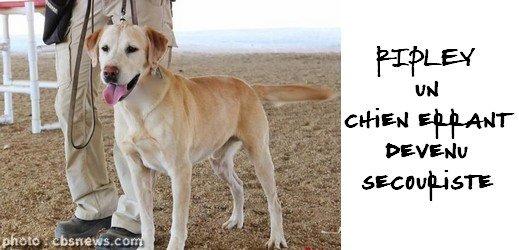 Ripley, chien errant devenu secouriste
